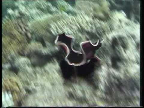 penisul caracatiței)