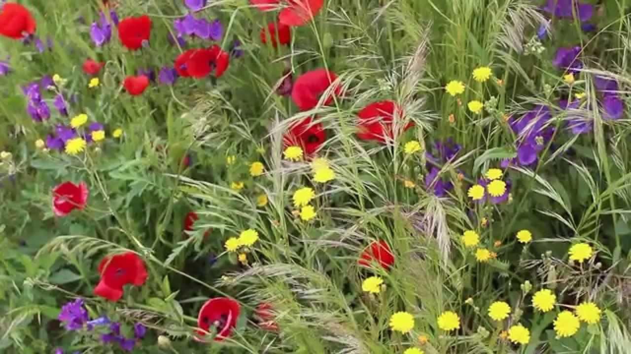 Flores silvestres de primavera youtube - Plantas de temporada primavera ...