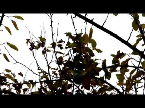 Naturbeobachtung Kohlmeise(Parus major(L. 1758)) am Meisenknödel 1