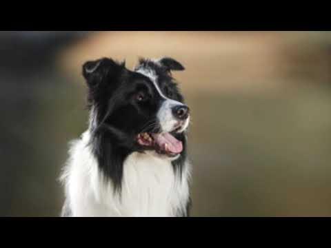 Border Collie - Dog Breed Information