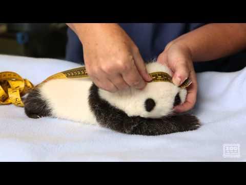 Giant Panda Cub Exam