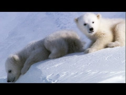 Cool Cute Cubs! | Amazing Animal Babies: Polar Bears | Earth Unplugged