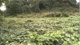 Kudzu: Survival plant