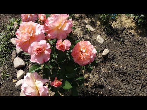 Розы первогодки сорта,кто их вывел,где купила