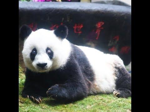 Chine: le plus vieux panda du monde est mort