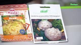 Как выбрать семена сельдерея для рассады? Обзор сортов сельдерея