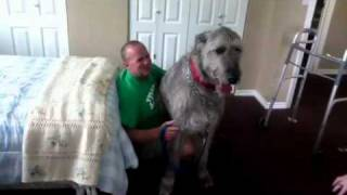 Irish Wolfhounds Are Lap Dogs Too!