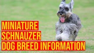 Miniature Schnauzer Dog Breed Hidden Information Will Shock You