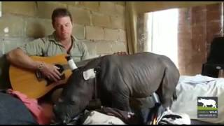 Baby Rhino Falls Asleep While Being Serenaded By Guitar