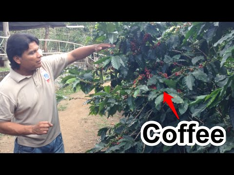 Coffee Production Process Tour with Cafe Ruiz in Boquete, Panama