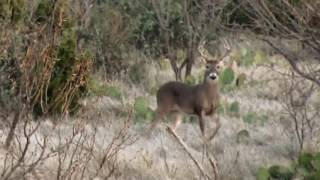 Can bucks hear you from a mile away?