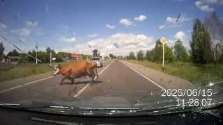 ахуеть можно! Сбил корову на трасе