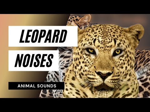 The Animal Sounds: Leopard Snarl - Sound Effect ...