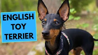 English Toy Terrier  TOP 10 Interesting Facts