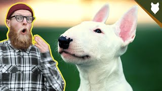 What To Do With A NEW BULL TERRIER PUPPY?!