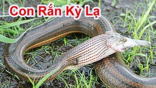 Con Rắn Ham Ăn Bị Mắc Cổ Khi Nuốt Con Cá Lớn Vào Miệng / Rắn Bông Súng Săn Mồi . snake eat fish