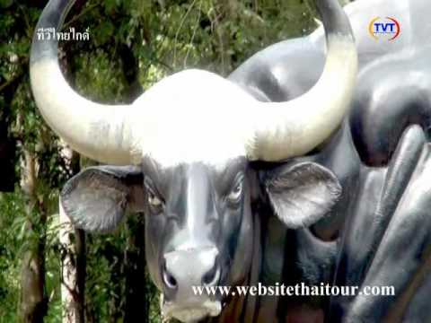 ดูวัวกระทิงเขาแผงม้า,เที่ยวเขาแผงม้า,อุทยานเขาแผงม้า,เที่ยววังน้ำเขียว,ทีวีไทยไกด์,พี่ชาลี
