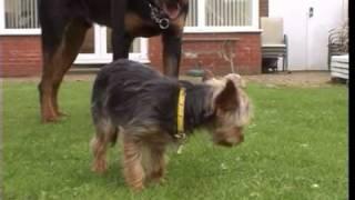 Yorkshire Terrierist Rottweiler Attack