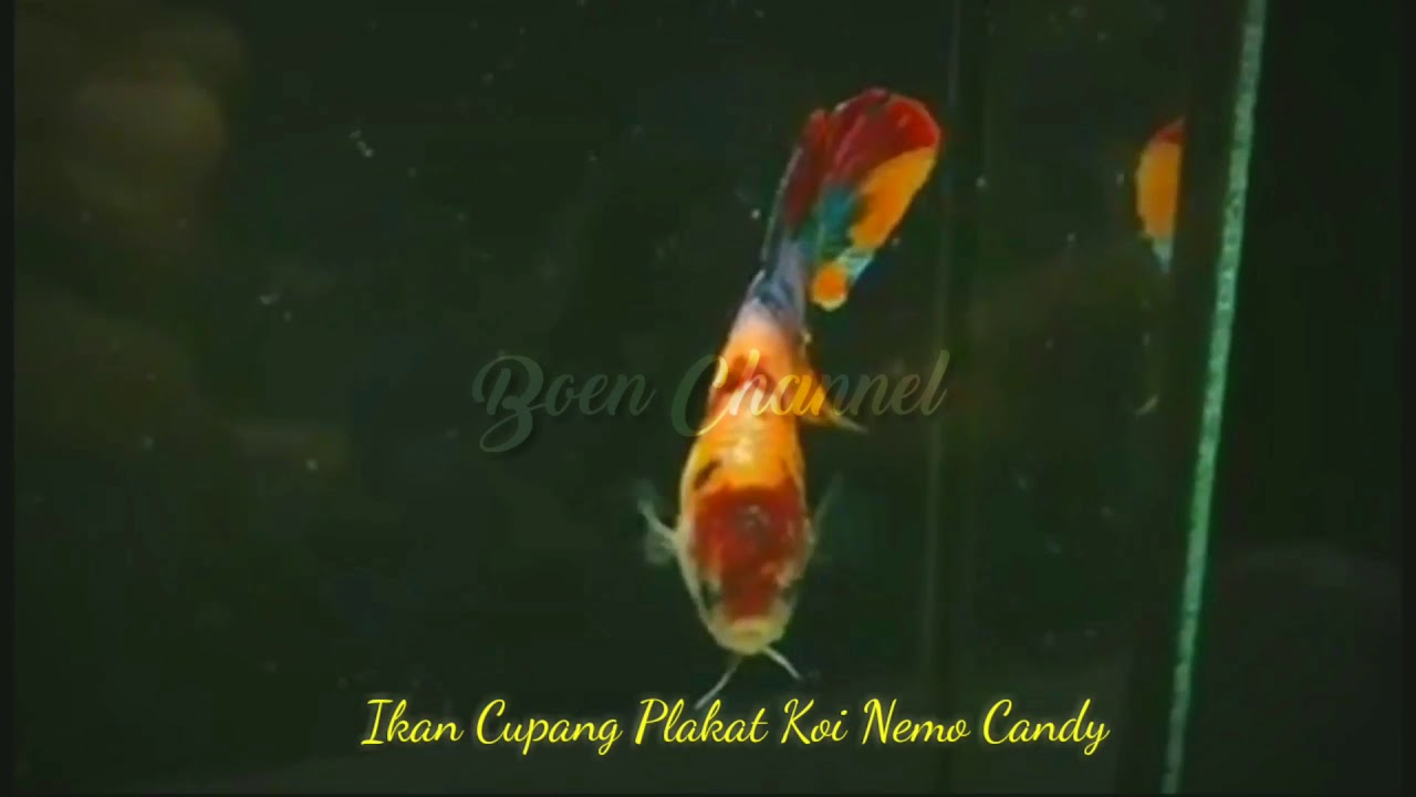 Review Ikan Cupang Plakat Koi Nemo Candy Youtube