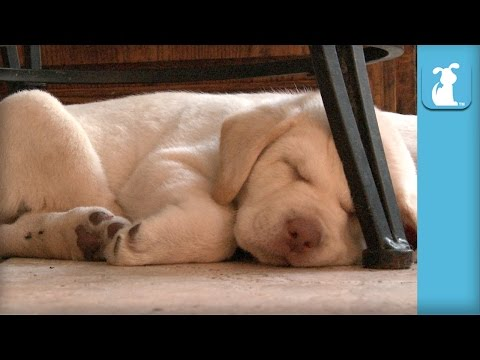 Lab Puppies Dream of Heaven And Sunshine  Puppy Love
