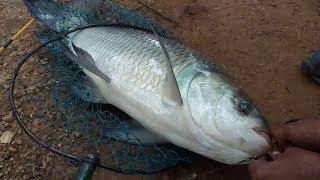 বড়ো কাতলা তিলডাঙ্গাতে   Big Katla At Tildanga Pond   Fishing Line