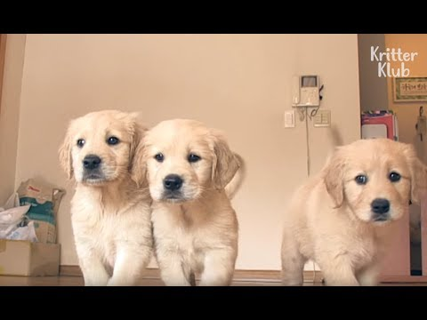 Golden Retriever Puppies Make Their Way Into Your Heart | Kritter Klub