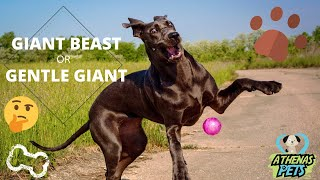 Getting to Know Your Dog's Breed: Great Dane Edition