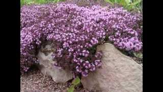 видео Анютины глазки: посадка и уход в открытом грунте, выращивание и размножение сорта, фото, сочетание в ландшафтном дизайне