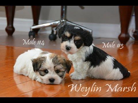 Havanese puppies Born March 26,2019