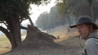 lion attack zimbabwe mana pools walking safari Africa
