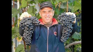 Виноград Шахтёр. Сезон 2017. (Grapes Shakhtor. Season 2017).