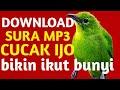 Download Suara Ciri Cucak Ijo Yang Bagus Untuk Lomba  Mp3 - Mp4 Download