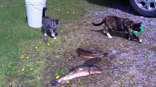 кошка Алиска знакомится с рыбой/Alice meets a fish