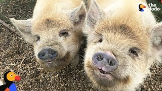 Pigs Are So Grateful Their Mom Saved Them: Happy National Pig Day | The Dodo