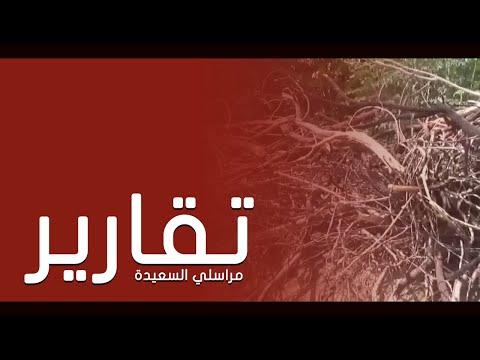 انتشار شجرة السيسبان خطر يهدد الزراعه بلحج