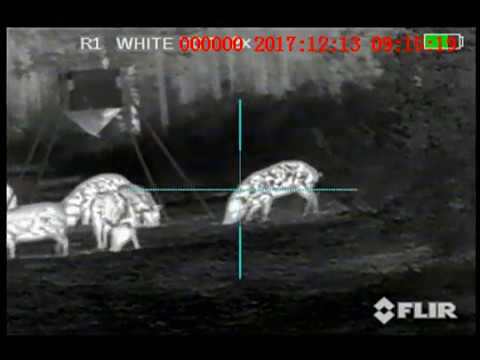 Thermal Hog Hunting w/ West Shore Outfitters