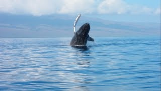 Humpback Whale Breaches, Maui, Hawaii