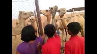 Camel Farms in Dubai - Desert Safari Tours
