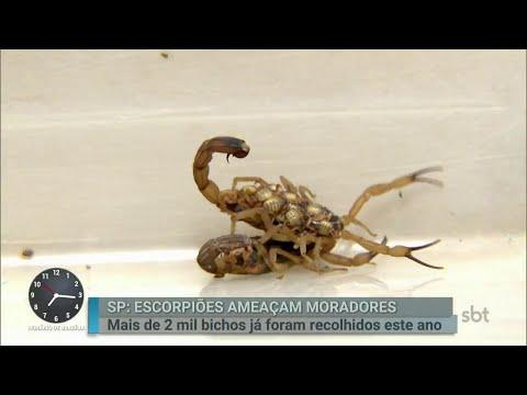 Ataques de escorpiões preocupam moradores da capital paulista | Primeiro Impacto (31/07/18)