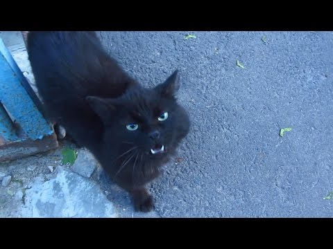Black cat with striped cats meows on the street