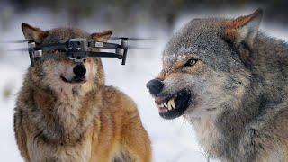 Дрон на носу у волка или двое волков-самцов у добычи | Film Studio Aves