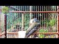 Manuk Siri Siri Gacor Bikin Emosi Burung Anda  Mp3 - Mp4 Download