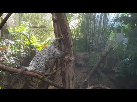 An active Prehensile-tailed porcupine