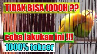 Download lagu ciri lovebird berjodoh dan tidak dan solusinya || BAMIS LOVEBIRD farm
