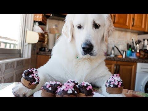 Chef Dog Makes Cupcakes | Cute Golden Retriever Puppy Bailey