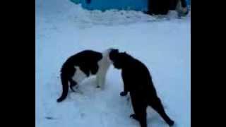 Коты дерутся.mp4
