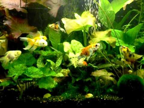 shubunkin kaltwasseraquarium aquarium goldfisch l ffela. Black Bedroom Furniture Sets. Home Design Ideas