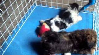Shih Tzu For Your Home(7 Weeks Old Cute Puppies)