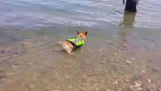 Corgi Swimming In The Colorado River