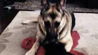 German Shepherd And Schnauzer Puppy Palate Cleanser